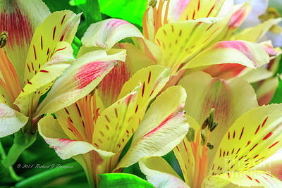Photograph - Yellow Peruvian Lilies In Bloom by Richard J Thompson