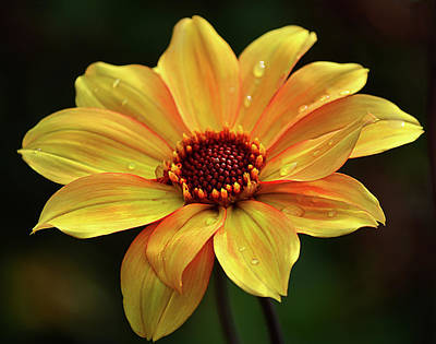 Photograph - Yellow Petals And Drops by Julie Palencia