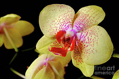 Art Print featuring the photograph Yellow Phalaenopsis Orchid by Dariusz Gudowicz