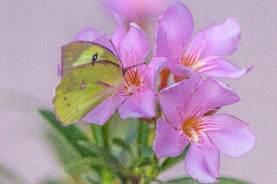 Photograph - Yellow Pink Butterfly by Leticia Latocki