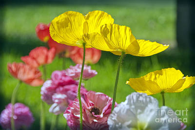 Photograph - Yellow Pink Poppies by David Zanzinger