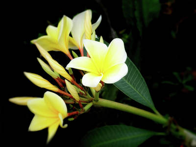 Photograph - Yellow Plumeria by Ann Powell
