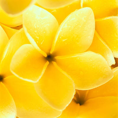 Photograph - Yellow Plumeria by Carl Shaneff - Printscapes