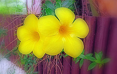 Digital Art - Yellow Mandevilla Flowers by Kay Novy