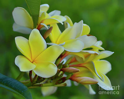 Photograph - Yellow Plumeria Flowers by Olga Hamilton