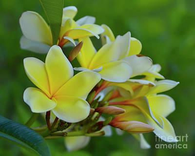 Photograph - Yellow Plumeria Flowers by Olga Hamilton