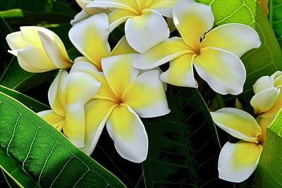 Photograph - Yellow Plumeria by Kirsten Giving