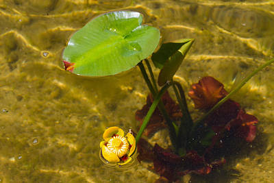 Photograph - Yellow Pond Lily by Bonnie Follett