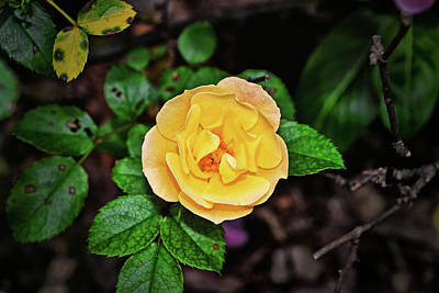 Photograph - Yellow Popcorn Drift Rose 002 by George Bostian