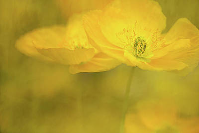 Photograph - Yellow Poppies by Kathleen Clemons