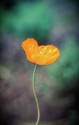 Photograph - Yellow Poppy by Lilia D