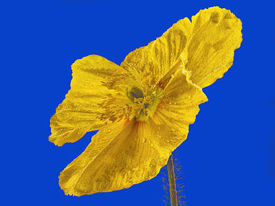 Photograph - Yellow Poppy On Blue Background by Jean Noren