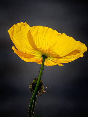 Photograph - Yellow Poppy by Robin Zygelman