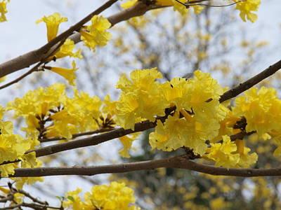 Yellow Poui In Bloom Art Print by Peter Hanoomansingh