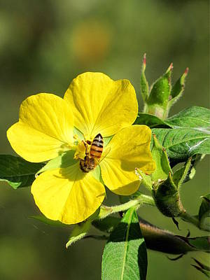 Photograph - Yellow Primrose And Honey Bee 000 by Chris Mercer