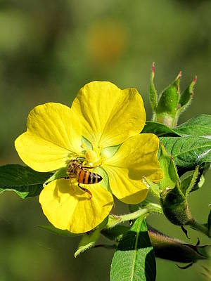 Photograph - Yellow Primrose And Honey Bee by Chris Mercer