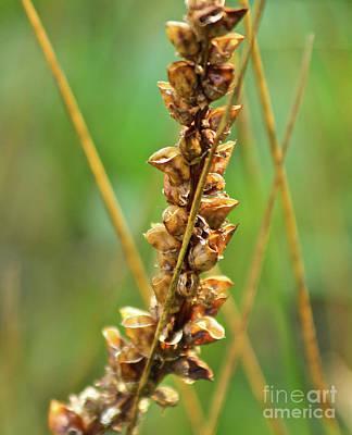 Photograph - Yellow Rattler Seed Pod by Ann E Robson