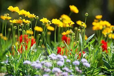Photograph - Yellow Red Purple Garden Flowers by Matt Harang