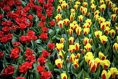 Photograph - Yellow-red Tulip Carpet by Jenny Rainbow