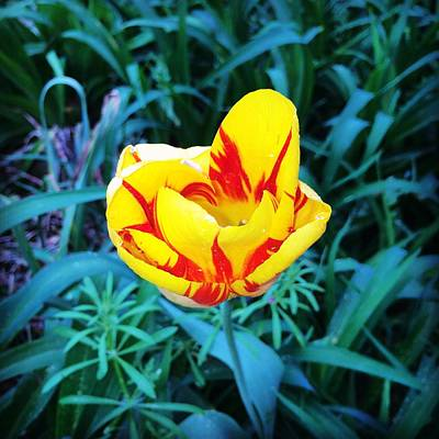 Fine Dining - Yellow Red Tulip by Nelda Mays