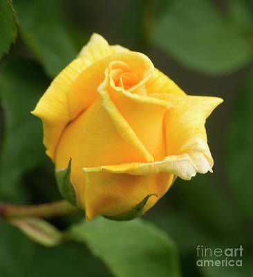 Photograph - Yellow Rose 1 by Jim And Emily Bush