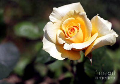 Lucille Ball Royalty Free Images - Yellow Rose 2 Royalty-Free Image by Artur Gjino