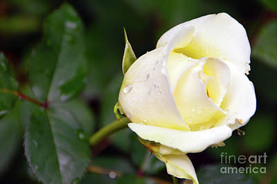 Photograph - Yellow Rose 2 by Brian O'Kelly