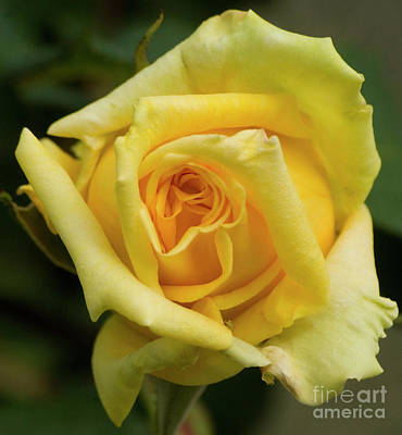 Photograph - Yellow Rose 2 by Jim And Emily Bush