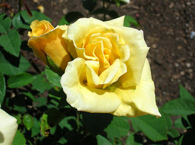 Photograph - Yellow Rose 2 by George Jones
