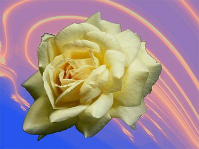 Photograph - Yellow Rose 3 by Tim Allen