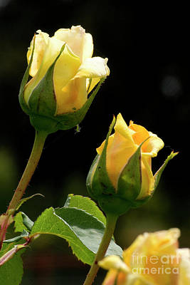 Photograph - Yellow Rose 4 by Jim And Emily Bush