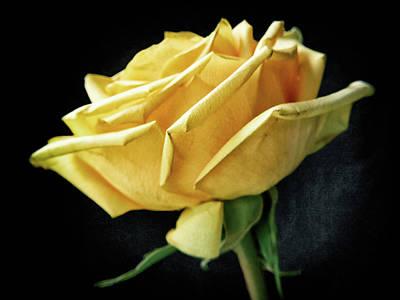 Photograph - Yellow Rose #4 by Janet E Gorman
