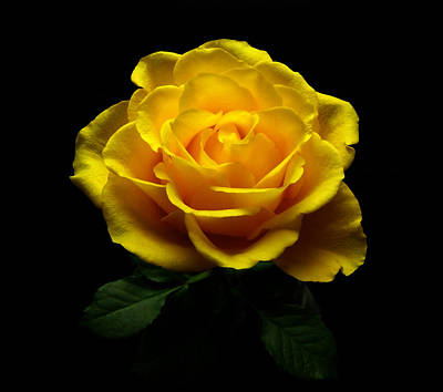 Yellow Rose 4 Art Print