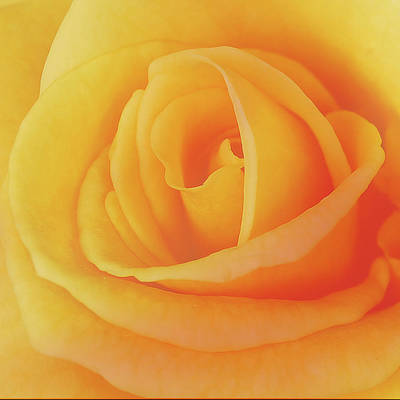 Yellow Rose 4788 Art Print by Michael Peychich
