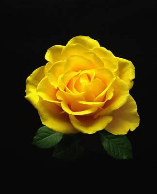 Yellow Rose 6 Art Print