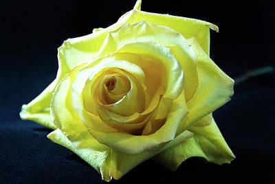 Yellow Rose-7 Art Print