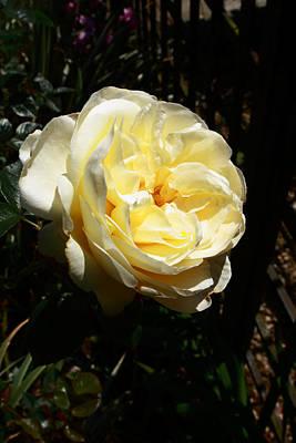 Photograph - Yellow Rose by Aidan Moran