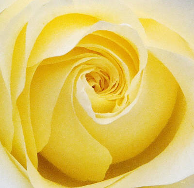 Yellow Rose Original by Amanda Schambon