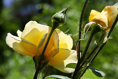 Photograph - Yellow Rose by Amber Woodrum