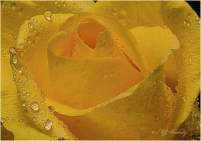 Yellow Rose And Dew Art Print by Marti Buckely