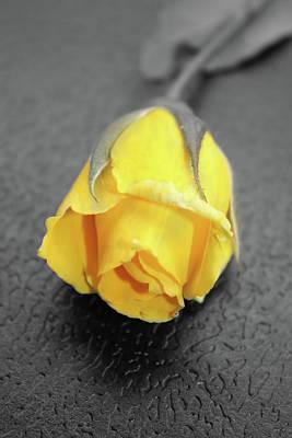 Photograph - Yellow Rose by Angel Jesus De la Fuente