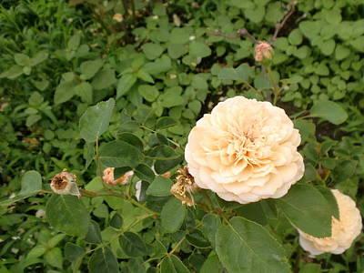 Photograph - Yellow Rose by Ann Yamagishi