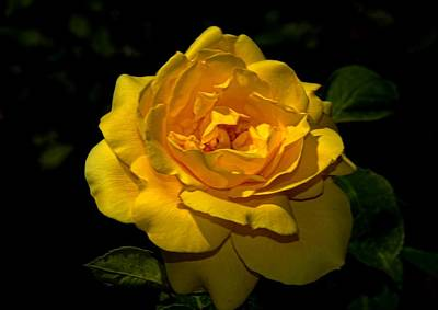 Photograph - Yellow Rose by Bill Howard