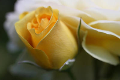 Photograph - Yellow Rose Bud Flower by Jennie Marie Schell