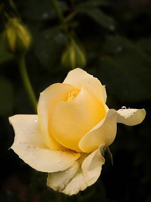 Photograph - Yellow Rose Bud by Inge Riis McDonald