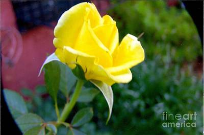 Painting - Yellow Rose Bud by Rod Ismay