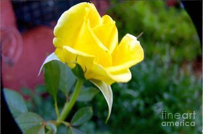 Yellow Rose Bud Art Print by Rod Ismay