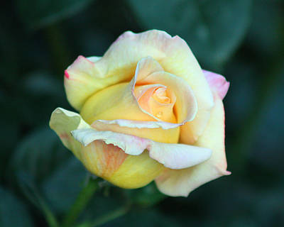 Photograph - Yellow Rose by Captain Debbie Ritter
