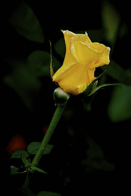 Photograph - Yellow Rose by Carol Tsiatsios