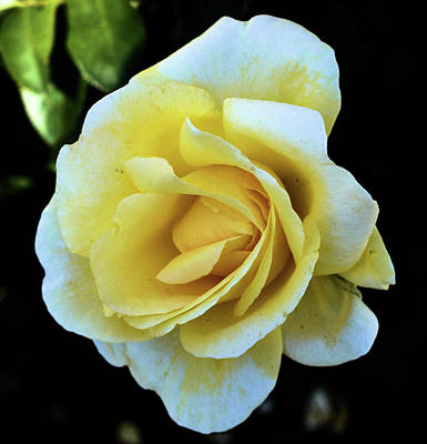 Photograph - Yellow Rose by Charles HALL